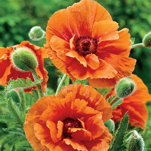 Oriental Poppy Harvest Moon
