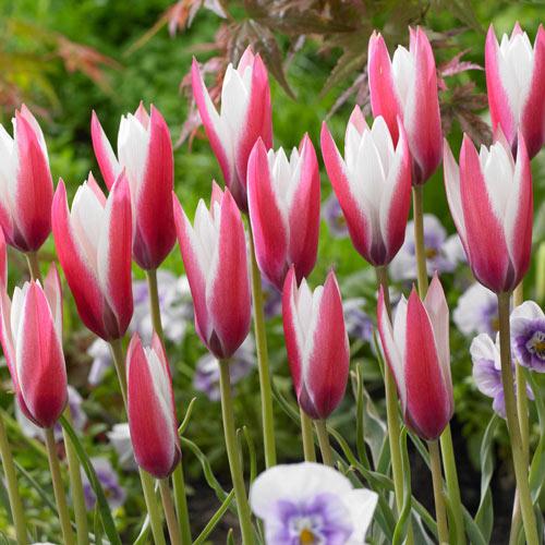 Peppermint Stick Tulip