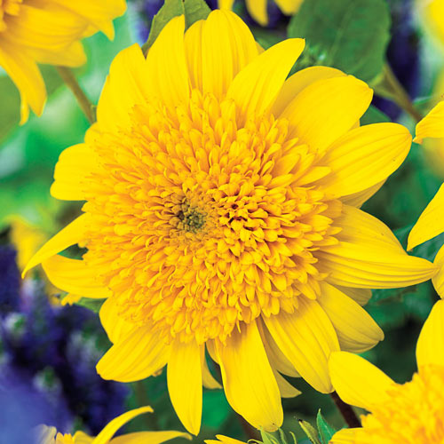 Happy Days Sunflower