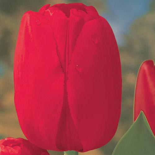 Red Dynasty Tulip
