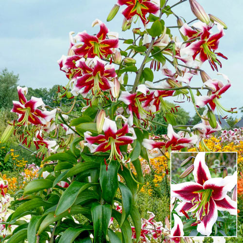 Beverly Dreams Lily Tree