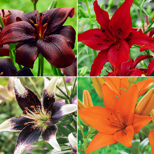 Dynamic Asiatic Lily Collection