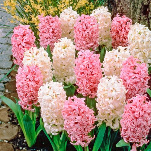French Perfume Hyacinth Mixture