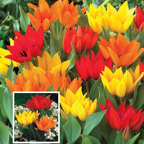 Firespray Tulip Mixture
