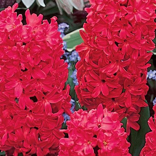 Jan Bos Fragrant Hyacinth