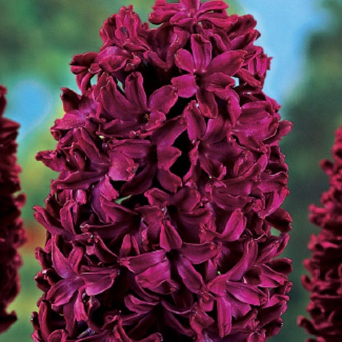 Woodstock Fragrant Giant Hyacinth
