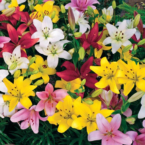 Carpet Border Lily Mixture