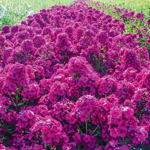 Phlox Raving Beauty