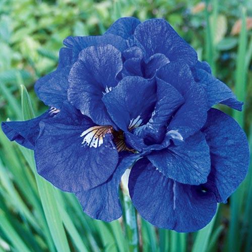 Siberian Iris Tumble Bug