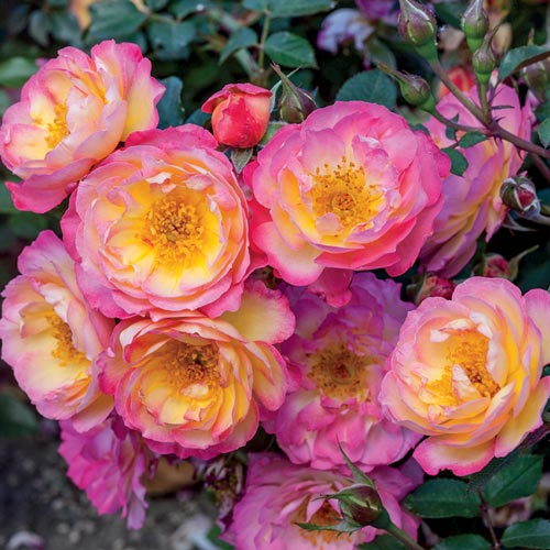 Rainbow Happy Trails Groundcover Rose