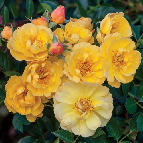 Sunshine Happy Trails Groundcover Rose
