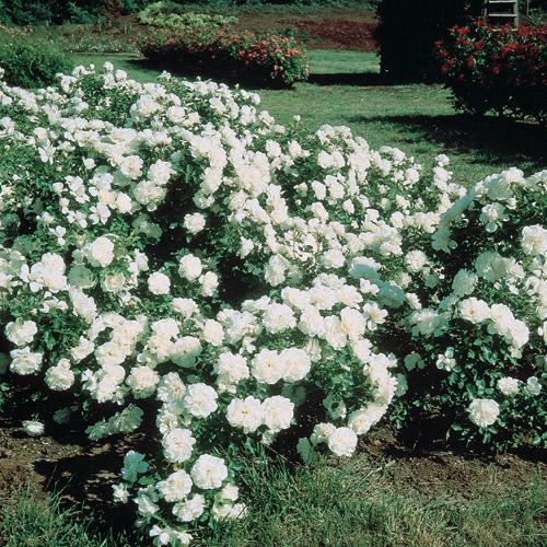 White Meidiland Groundcover Rose