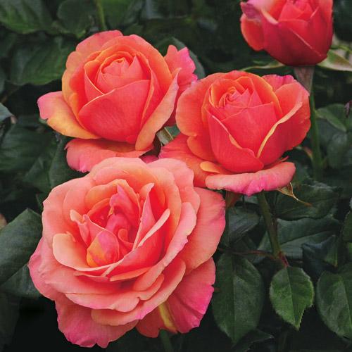 Anna's Promise Grandiflora Rose