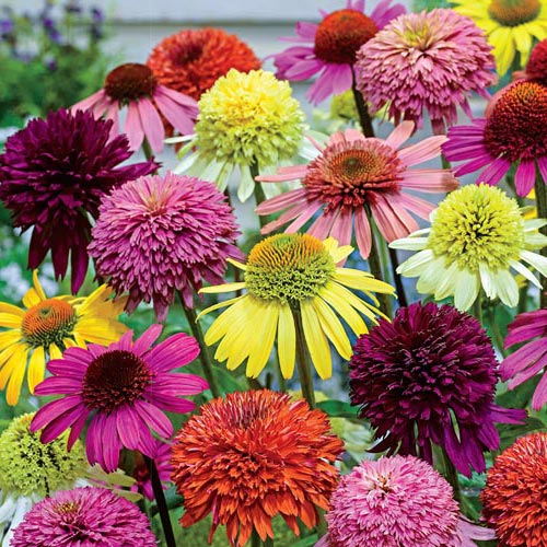 Hybridizer's Coneflower Mixture