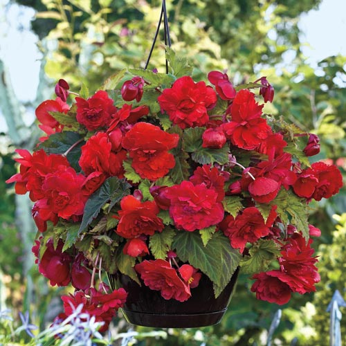 Wow! Hanging Begonia