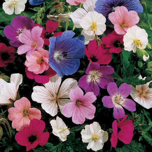 Hardy Geranium Mixture Super Sak