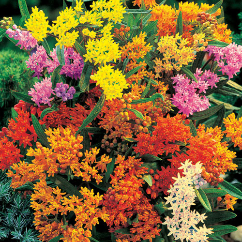 Asclepias Mixture