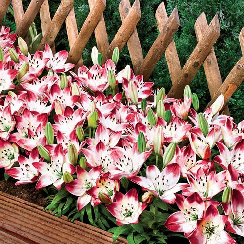 Sugar Baby Carpet Border Lily