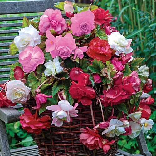 Fragrant Hanging Basket Begonia Mixture