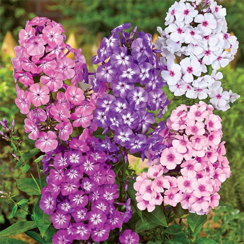 Tall Eye Phlox Mixture