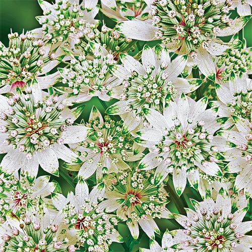 Star of Billion Astrantia