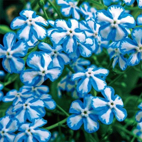 Starry Eyes Siberian Bugloss