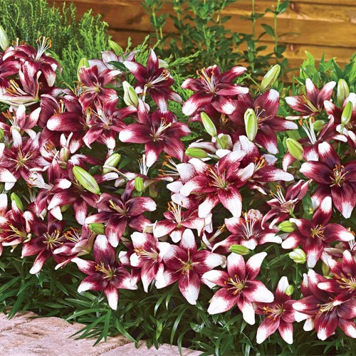 Push Off Carpet Border Lily