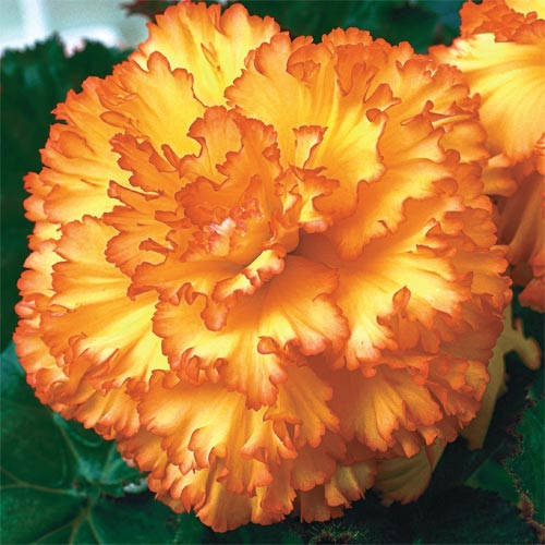 Sunburst Prima Donna Dinnerplate Begonia