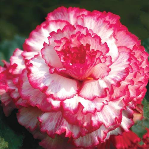 Blush Prima Donna Dinnerplate Begonia