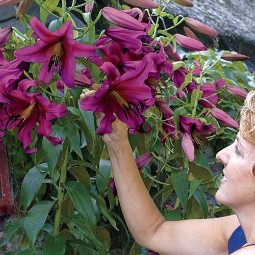 Purple Prince Lily Tree