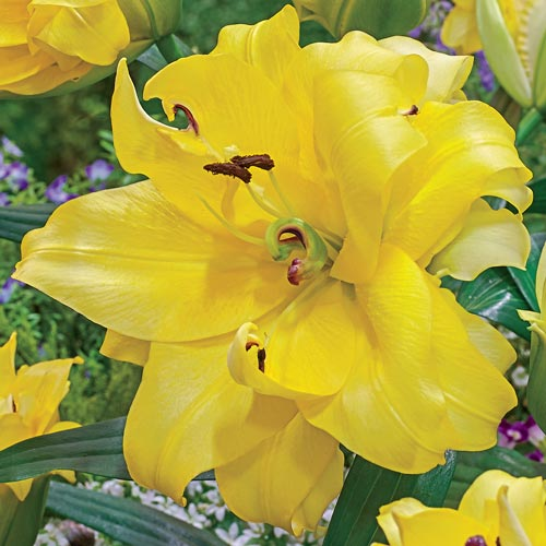 Exotic Sun Double Flowered Lily Tree