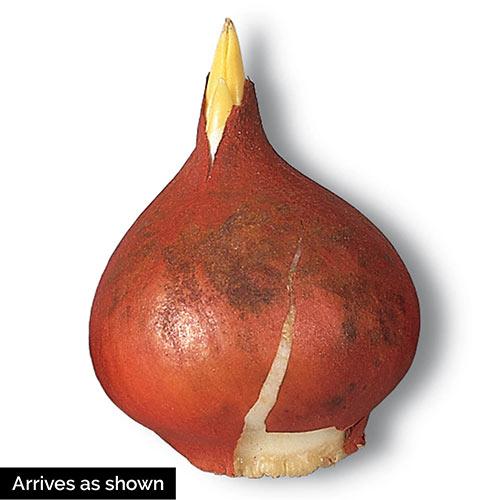 Scarlet Majesty Tulip
