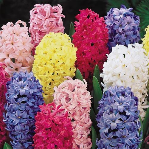 Giant Hyacinth Mixture
