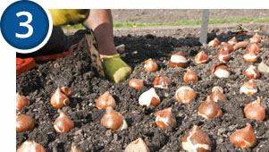 Bulbs thrive in well drained soil
