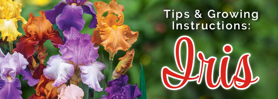 Growing Instructions: Iris