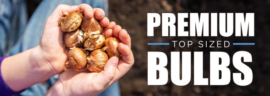 Premium Top sized Bulbs