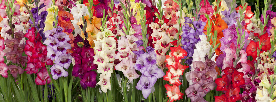 Tips & Growing Instructions: Gladiolus