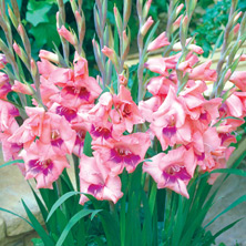 Glamini Gladiolus