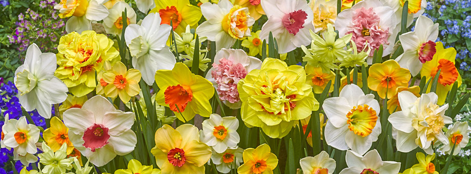 Tips & Growing Instructions: Daffodils