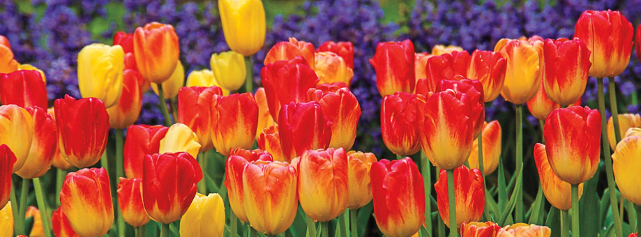 Tips & Growing Instructions: Tulips