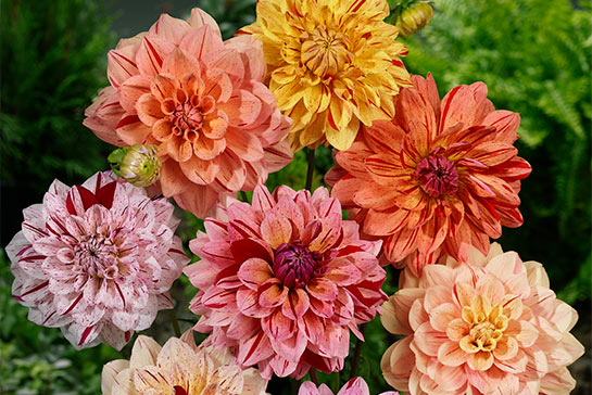 How to Plant Dahlias