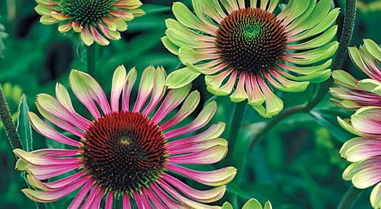 Sun Perennials
