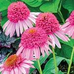 Meteor Pink Coneflower