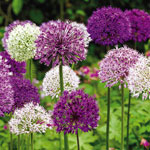 Big Impact<sup>&trade;</sup> Allium Mixture
