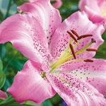 Josephine Oriental Lily