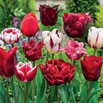 Variatie Red<sup>&trade;</sup> Tulip Mixture