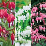 Old-Fashioned Bleeding Heart Collection