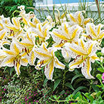 Gold Band Oriental Carpet Border Lily<sup>&trade;</sup>