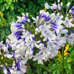 Twister Agapanthus