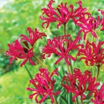 Red Japanese  Spider Lily